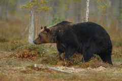 Бурый медведь в среду обитания природы земли Финляндии Стоковые Изображения