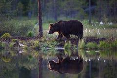 Бурый медведь в финском лесе с отражением от озера Стоковое Фото