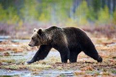 Бурый медведь в taiga Стоковая Фотография