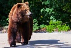 Бурый медведь идет arround Стоковое фото RF