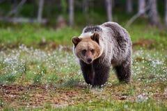 Бурый медведь идя в taiga Стоковые Фото