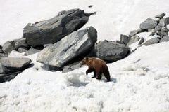 Бурый медведь идя на снег и лед среди утесов Стоковые Изображения