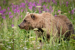 Бурый медведь и Fireweed стоковое фото rf