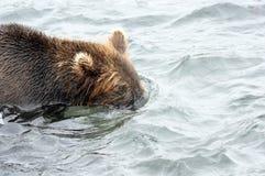 Бурый медведь Камчатки пока удящ Стоковые Фото