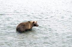 Бурый медведь Камчатки пока удящ Стоковая Фотография RF