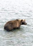 Бурый медведь Камчатки пока удящ Стоковое Изображение RF