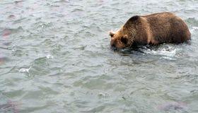 Бурый медведь Камчатки пока удящ Стоковая Фотография