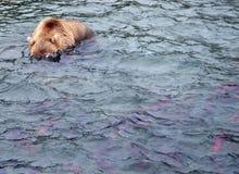 Бурый медведь Камчатки пока удящ Стоковые Изображения