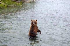 Бурый медведь Камчатки пока удящ Стоковое Фото