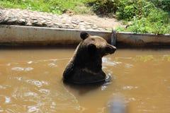 Бурый медведь купает стоковая фотография