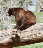 Бурый медведь на стволе дерева упаденном a Стоковая Фотография