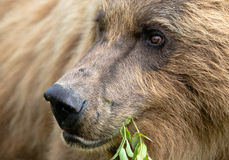 Бурый медведь пася Стоковые Фото