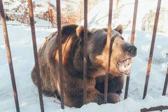 Бурый медведь ревя за барами клетки Стоковые Изображения