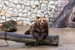 Бурый медведь сидит расслабленное Стоковые Фотографии RF