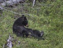 Бурый медведь сидя в траве Стоковые Изображения