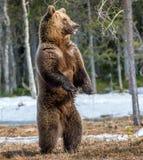 Бурый медведь стоя на его задних ногах Стоковое Изображение