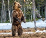 Бурый медведь стоя на его задних ногах Стоковая Фотография RF