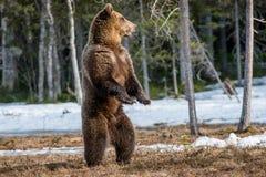 Бурый медведь стоя на его задних ногах Стоковые Фотографии RF