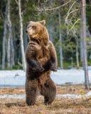 Бурый медведь стоя на его задних ногах Стоковая Фотография
