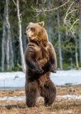 Бурый медведь стоя на его задних ногах Стоковое фото RF