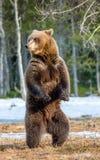Бурый медведь стоя на его задних ногах Стоковые Изображения