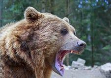 Бурый медведь с открытым портретом рта Стоковое Изображение
