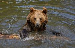 Бурый медведь Стоковые Изображения