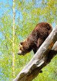 Бурый медведь Стоковая Фотография