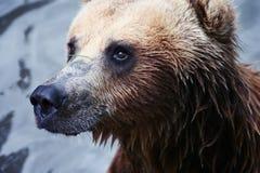 Бурый медведь Стоковое Фото