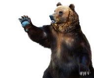 Бурый медведь стоковая фотография rf