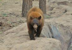 Бурый медведь Стоковые Фото