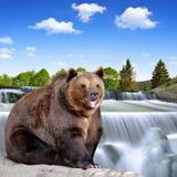 Бурый медведь Стоковое Изображение