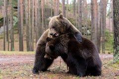 Бурый медведь (arctos Ursus) в лесе зимы Стоковое Изображение RF