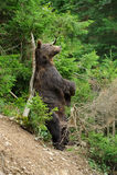Бурый медведь (arctos Ursus) в лесе Стоковые Фото