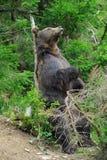 Бурый медведь (arctos Ursus) в лесе Стоковые Фотографии RF