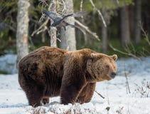 Бурый медведь & x28; Arctos& x29 Ursus; на лесе трясины весной Стоковое Изображение