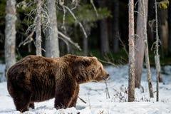Бурый медведь & x28; Arctos& x29 Ursus; на лесе трясины весной Стоковое Фото