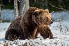 Бурый медведь & x28; Arctos& x29 Ursus; на снеге Стоковая Фотография