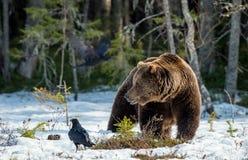 Бурый медведь & x28; Arctos& x29 Ursus; на трясине Зеленый лес весны в лучах солнца Стоковое Изображение RF