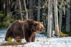 Бурый медведь & x28; Arctos& x29 Ursus; на трясине Зеленый лес весны в лучах солнца Стоковая Фотография RF