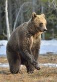 Бурый медведь (arctos Ursus) стоя на его лесе задних ног весной Стоковые Фотографии RF
