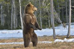 Бурый медведь (arctos Ursus) стоя на его лесе задних ног весной Стоковое Фото
