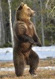 Бурый медведь (arctos Ursus) стоя на его задних ногах Стоковые Изображения