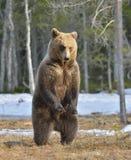 Бурый медведь (arctos Ursus) стоя на его задних ногах Стоковая Фотография RF