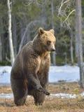 Бурый медведь (arctos Ursus) стоя на его задних ногах Стоковая Фотография