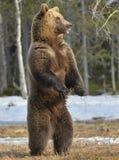 Бурый медведь (arctos Ursus) стоя на его задних ногах Стоковое Фото
