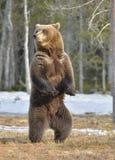 Бурый медведь (arctos Ursus) стоя на его задних ногах Стоковое Изображение RF