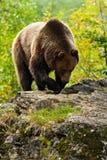 Бурый медведь, arctos Ursus, hideen за стволом дерева в портрете стороны леса бурого медведя Медведь с открытым намордником с бол Стоковые Фото