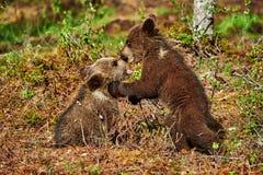 2 бурый медведь Cubs Стоковое Фото