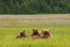 Бурый медведь Cubs Sucling Стоковые Изображения RF